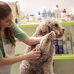How to become a pet groomer in Australia: careers in animal care